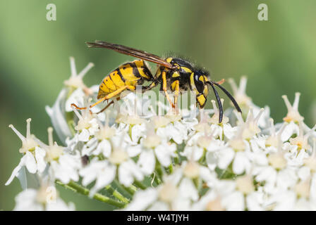 Vespula Vulgaris (Common Wasp, European Wasp, Common yellow jacket wasp) in Summer in West Sussex, England, UK. - Stock Photo