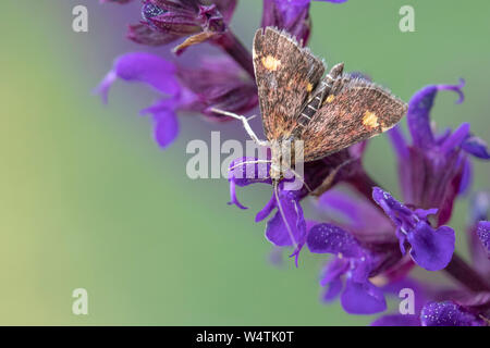 Mint Moth (Pyrausta aurata) on Salvia nemorosa 'Caradonna' - Stock Photo