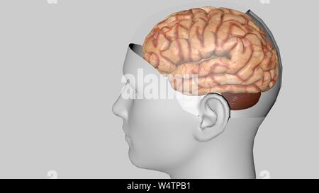 Human brain isolated on a colored background. Anatomical 3D model of human brain for medical students. 3D rendered model - Stock Photo