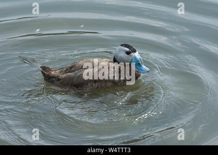 White-headed duck (Oxyura leucocephala) male duck with white head, black crown and blue bill at Arundel Wetland Centre, July - Stock Photo