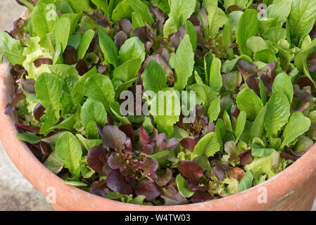 Red and green lettuce grown in a terracotta container to provide cut and come again baby lettuce leaves for salads - Stock Photo