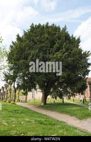 A mature English yew tree (Taxus baccata) where it is traditionally planted in a churchyard, Kintbury, Berkshire, April - Stock Photo
