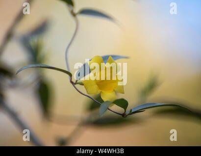Carolina Jessamine flowering vine in North Florida. - Stock Photo