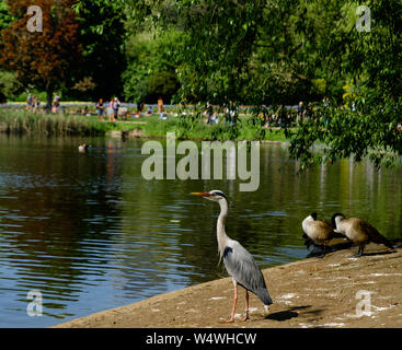 A Grey heron at the lake in St James's Park, Central London on a hot, sunny day. - Stock Photo