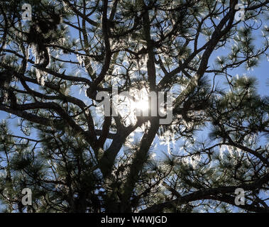 Late afternoon sun shining through a pine tree. - Stock Photo