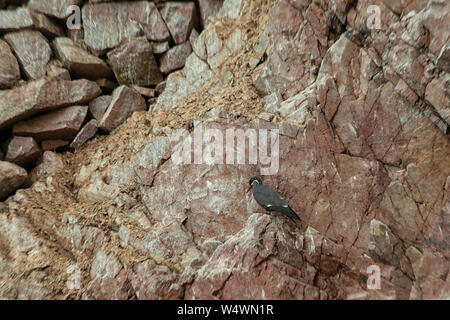 Inca Terns on a rocky island of Islas Ballestas, Peru. - Stock Photo