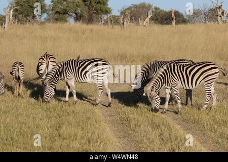 Zebra in Zimbabwe - Stock Photo