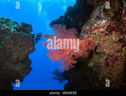 Female scuba diver takes video footage of large red sea fan between towering pinnacles. Beqa Lagoon, Fiji. - Stock Photo