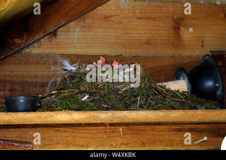 Pied wagtails have built a nest on a shelf using a toilet/sink plunger as a base  in a garden shed the in Scottish border region - With chicks