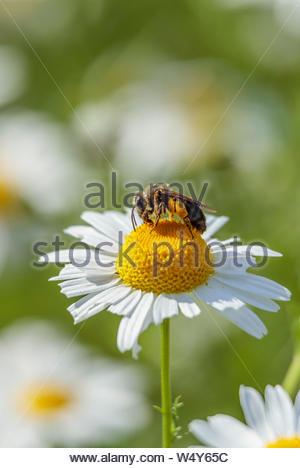Bee pollinating OX-Eye Daisy Chrysanthemum leucanthemum Leucanthemum vulgare oxeye daisy dog daisy - Stock Photo