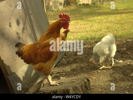 A Rooster Standing On A Stump Crowing, While Hens Peck The Ground Near By - Stock Photo