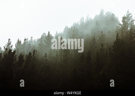 Forest with fog, foggy trees landscape in woods,dark spooky halloween background,tree surrounded by mist, environment and weather concept - Stock Photo