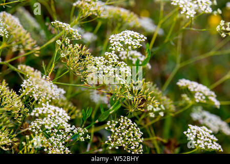 Green meadow with shepherd's purse plant or Capsella bursa-pastoris close up view - Stock Photo