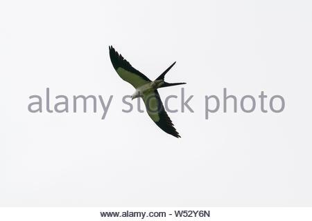 Swallow-tailed Kite (Elanoides forficatus) in Costa Rica - Stock Photo