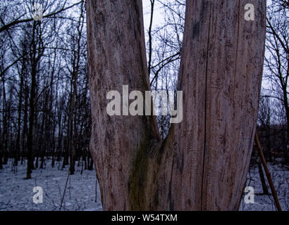 old bare tree in early spring , Russia - Stock Photo