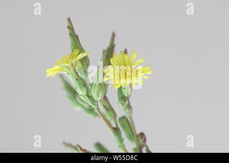 Lactuca serriola, also called prickly lettuce, milk thistle, compass plant and scarole.  Prickly lettuce is believed to be the origin of modern cultiv - Stock Photo