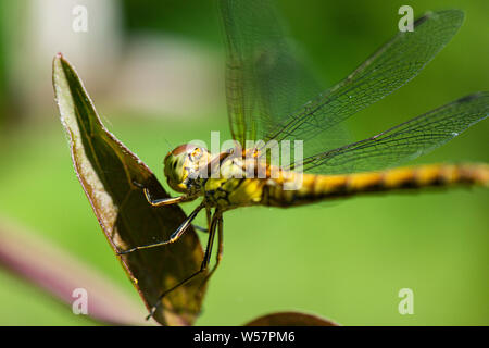 A female vagrant darter  dragonfly (Sympetrum vulgatum) on a leaf - Stock Photo