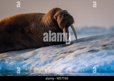 Russia. 13th July, 2019. CHUKOTKA, RUSSIA - JULY 13, 2019: A walrus on Wrangel Island, part of the Wrangel Island State Nature Reserve in the Arctic Sea. Yuri Smityuk/TASS Credit: ITAR-TASS News Agency/Alamy Live News - Stock Photo