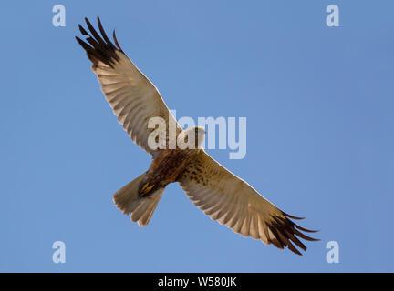 Adult Male Western Marsh harrier soars in flight high in blue sky with spreaded wings Stock Photo
