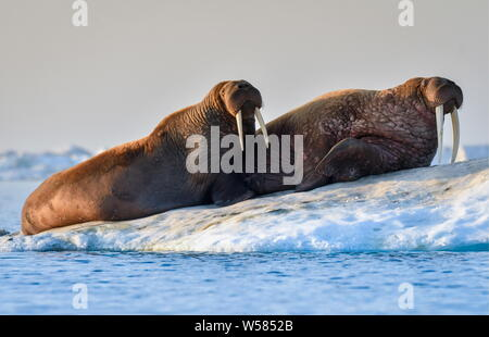 Russia. 13th July, 2019. CHUKOTKA, RUSSIA - JULY 13, 2019: Walruses on an ice flow off Wrangel Island, part of the Wrangel Island State Nature Reserve in the Arctic Sea. Yuri Smityuk/TASS Credit: ITAR-TASS News Agency/Alamy Live News - Stock Photo