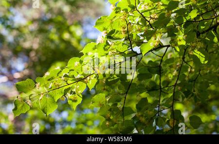 Common linden flowering (Tilia cordata) - Stock Photo