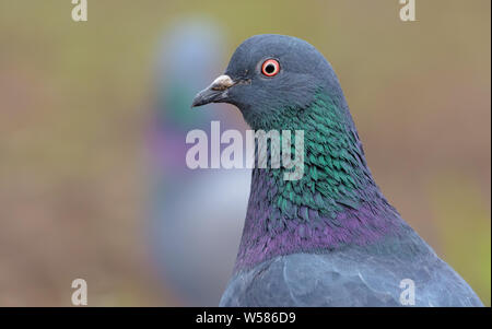 Adult Rock Dove very close bird portrait with face and eyes in high definition - Stock Photo