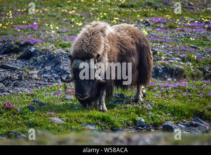 Russia. 13th July, 2019. CHUKOTKA, RUSSIA - JULY 13, 2019: A muskox grazing on Wrangel Island, part of the Wrangel Island State Nature Reserve in the Arctic Sea. Yuri Smityuk/TASS Credit: ITAR-TASS News Agency/Alamy Live News - Stock Photo