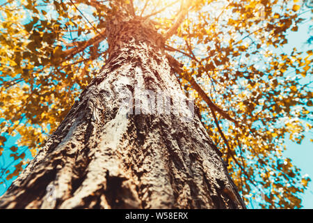 Bottom view on a big tree in bright sunny day, golden tree leaves over blue sky background, autumn season - Stock Photo