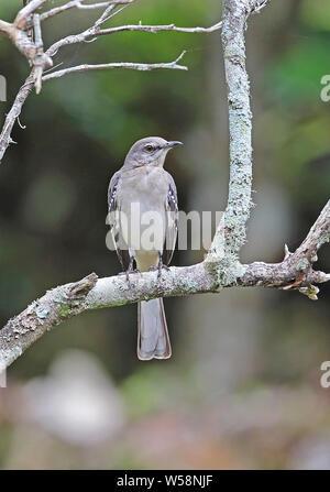 Northern Mockingbird (Mimus polyglottos) adult perched on dead branch  Marshall's Pen, Jamaica               December - Stock Photo