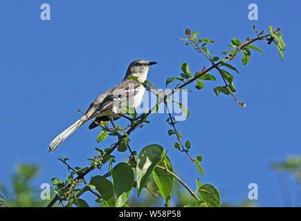 Northern Mockingbird (Mimus polyglottos) adult perched on top of bush  Linstead, Jamaica               December - Stock Photo
