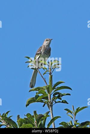 Northern Mockingbird (Mimus polyglottos) adult perched on tree top  Port Antonio, Jamaica                April - Stock Photo