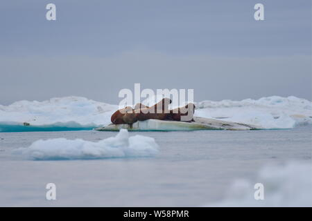 Russia. 13th July, 2019. CHUKOTKA, RUSSIA - JULY 13, 2019: Walruses on an ice floe off Wrangel Island, part of the Wrangel Island State Nature Reserve in the Arctic Sea. Yuri Smityuk/TASS Credit: ITAR-TASS News Agency/Alamy Live News - Stock Photo
