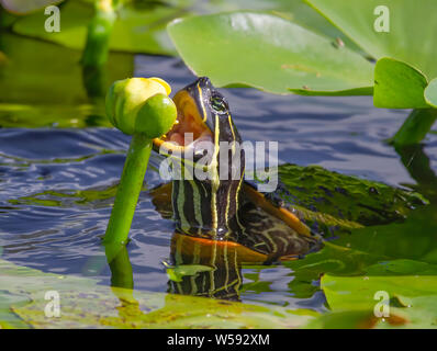 A Florida Cooter turtle snacks on some vegetation near the Anhinga Trail in Everglades National Park. - Stock Photo