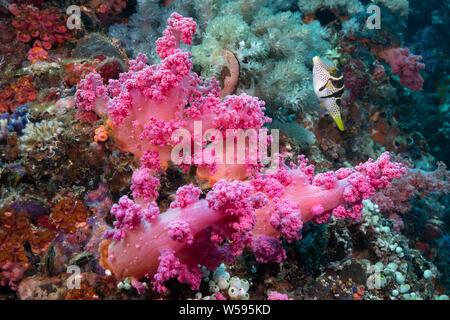 saddled puffer, black-saddled toby or Valentin's sharpnose puffer, Canthigaster valentini, next to soft coral, Gato Island, Cebu, Philippines