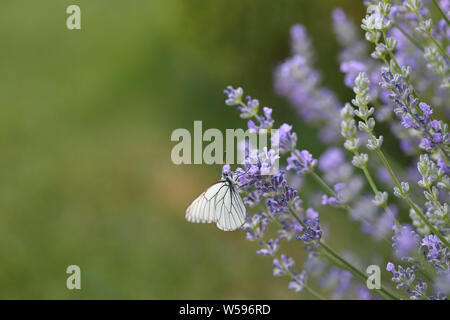 Makro Lavendelwiese mit Baumweissling Schmetterling Hintergrund - Stock Photo