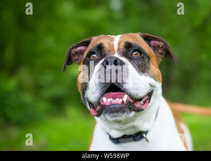 Close up of a Boxer/Bulldog mixed breed dog with a happy expression outdoors - Stock Photo