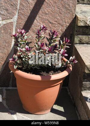 hebe speciosa variegata ??? - Stock Photo