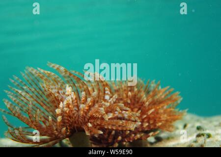 Magnificent Feather Duster (Sabellastarte magnifica) worm against a turquoise ocean, Crocus Bay, Anguilla, BWI. - Stock Photo