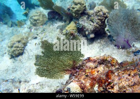 Excellent example of a green Common sea fan (Gorgonia flabellum) and other coral, Little Bay, Anguilla, BWI. - Stock Photo