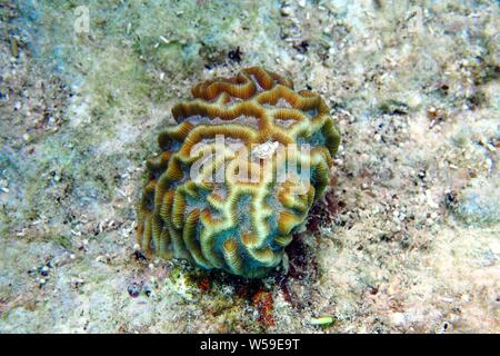 Excellent example of Grooved Brain Coral (Diploria labyrinthiformis) growing on a rocky surface, Little Bay, Anguilla, BWI. - Stock Photo