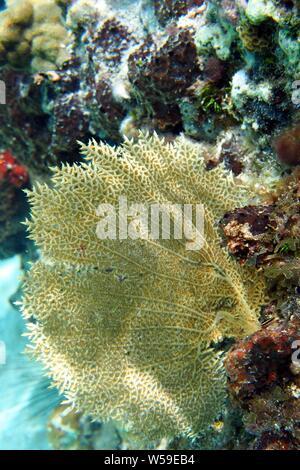 Yellow Common sea fan (Gorgonia flabellum) in dappled sunlight, Little Bay, Anguilla, BWI. - Stock Photo