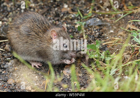 A wild Brown Rat, Rattus norvegicus, eating seads on the ground at the edge of a lake. - Stock Photo