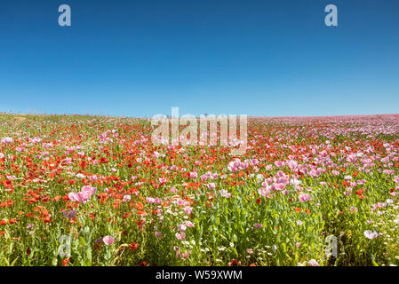 Meadow of breadseed and corn poppies, Germerode, Hesse, Germany - Stock Photo