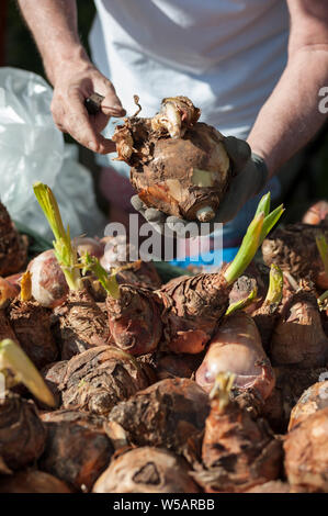 Gardener shows some large bulbs. Close up. - Stock Photo