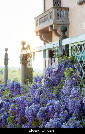 Vines of wisteria hanging off an old wood pavilion. Manneristic stile romantic balcony on background. - Stock Photo