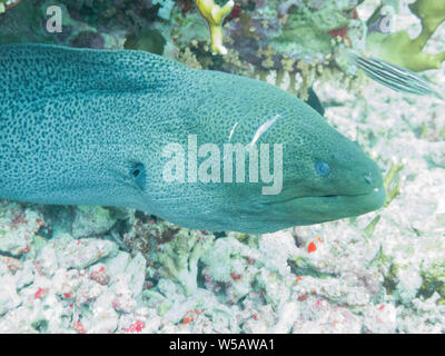 A moray eel (muraenidae), coming out of a hole in the Red Sea off the coast of Yanbu, in Saudi Arabia. - Stock Photo