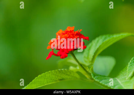 Lantana camara Flower - Stock Photo