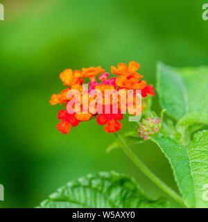 Red Lantana camara Flower - Stock Photo