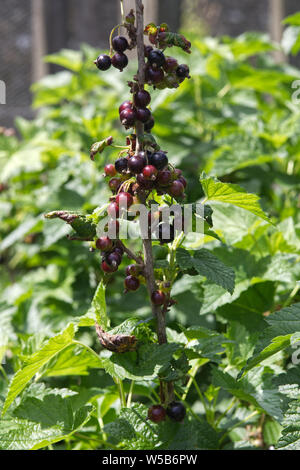 Blackcurrant bush with berries - Stock Photo