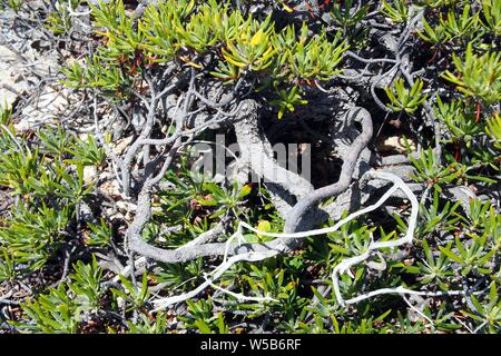 Mature Shoreline purslane (Sesuvium portulacastrum) growing on rocky limestone, Windward Point, Anguilla, BWI. - Stock Photo